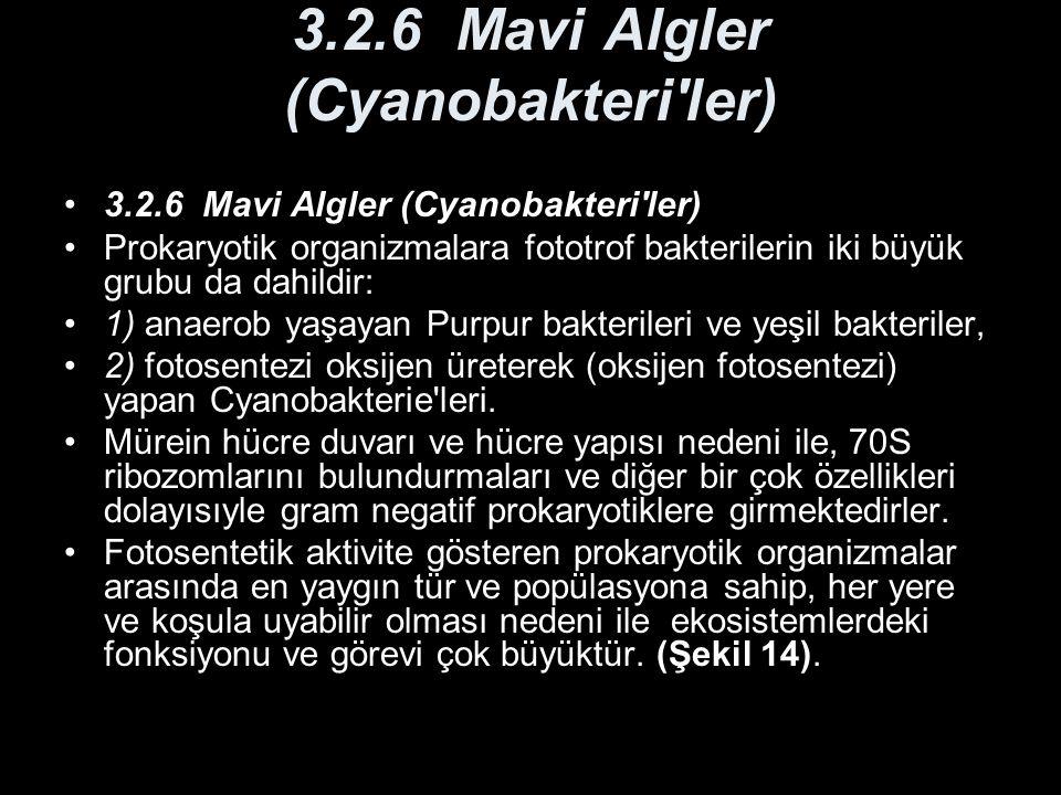 3.2.6 Mavi Algler (Cyanobakteri ler)