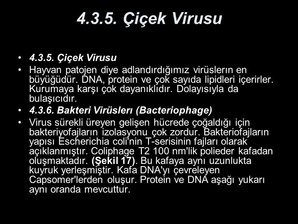 4.3.5. Çiçek Virusu 4.3.5. Çiçek Virusu