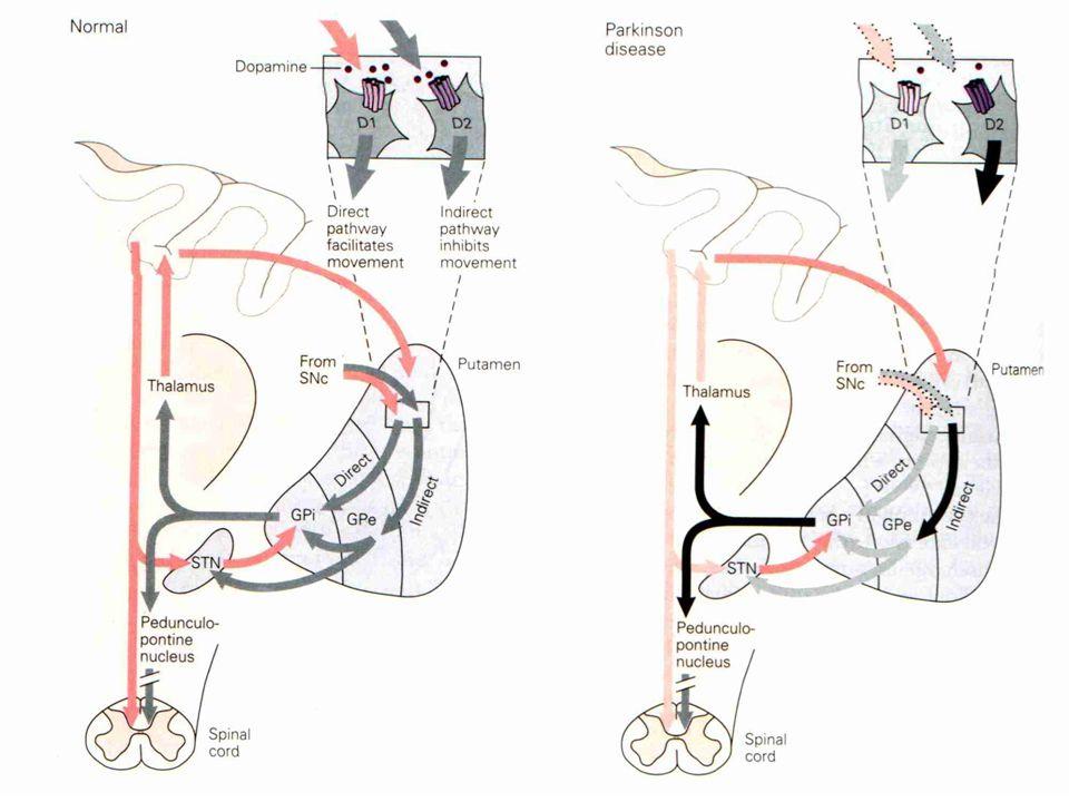 Bazal Gangliyonlar Bazal gangliyonlar 4 çekirdekten oluşur: Striatum. 3 alt bölümden oluşur. Caudate nucleus.