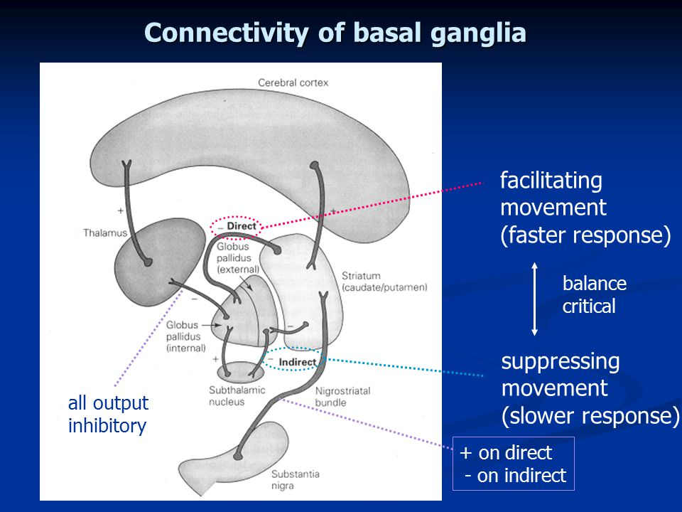 Connectivity of basal ganglia
