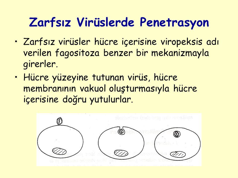 Zarfsız Virüslerde Penetrasyon