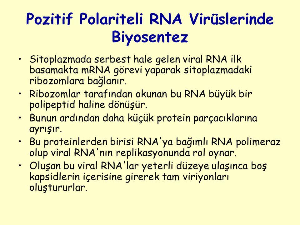 Pozitif Polariteli RNA Virüslerinde Biyosentez
