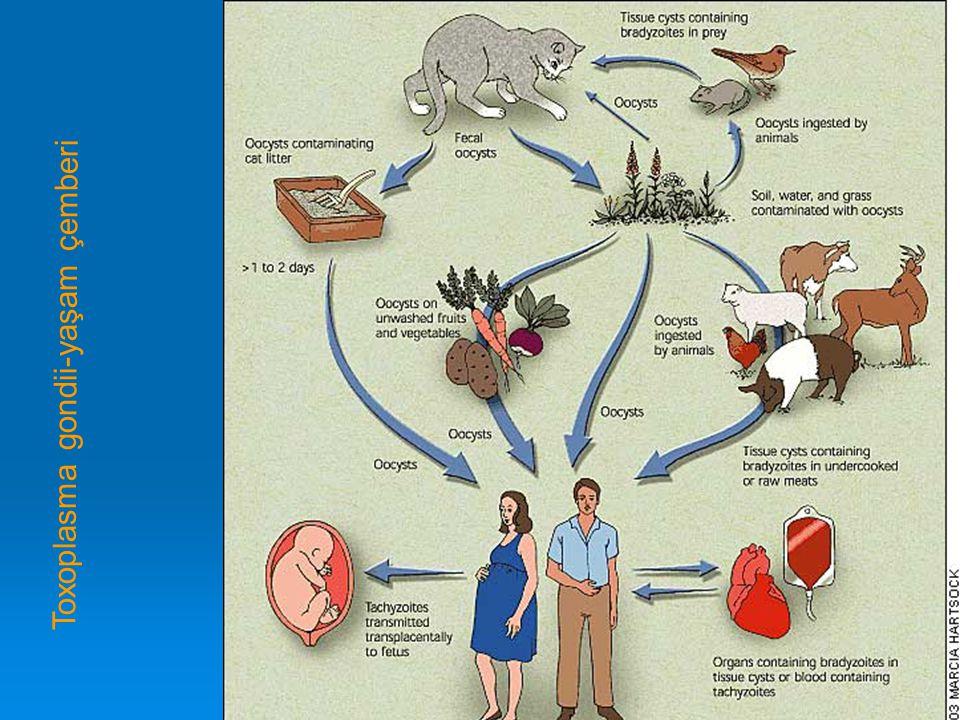 Toxoplasma gondii-yaşam çemberi