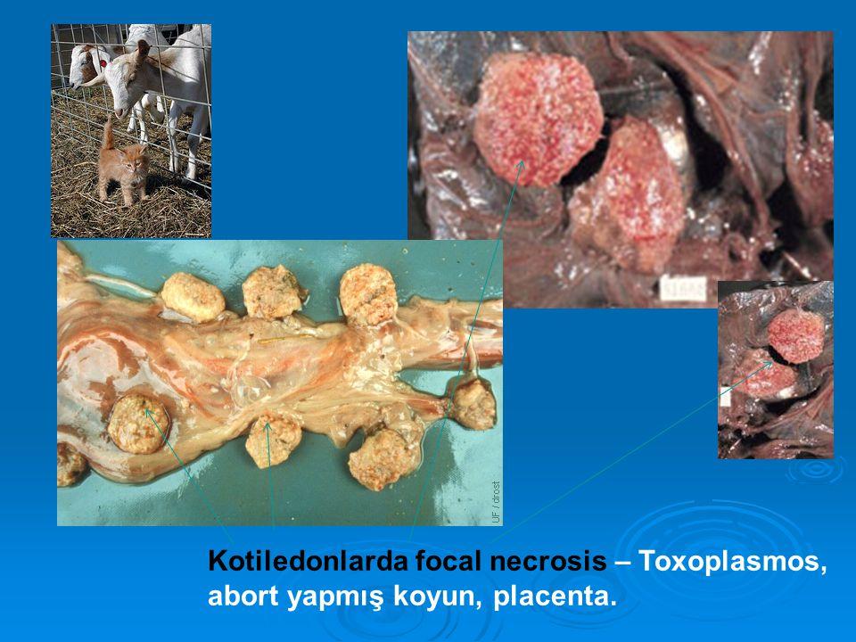 Kotiledonlarda focal necrosis – Toxoplasmos, abort yapmış koyun, placenta.