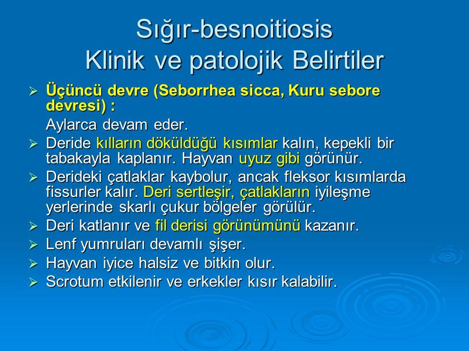 Sığır-besnoitiosis Klinik ve patolojik Belirtiler