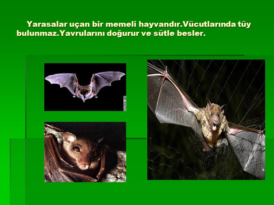 Yarasalar uçan bir memeli hayvandır. Vücutlarında tüy bulunmaz