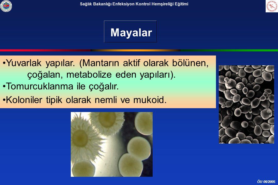 Mayalar Yuvarlak yapılar. (Mantarın aktif olarak bölünen, çoğalan, metabolize eden yapıları). Tomurcuklanma ile çoğalır.