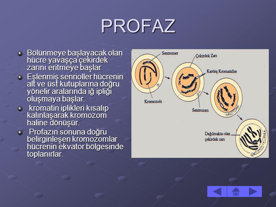 PROFAZ Bölünmeye başlayacak olan hücre yavaşça çekirdek zarını eritmeye başlar.