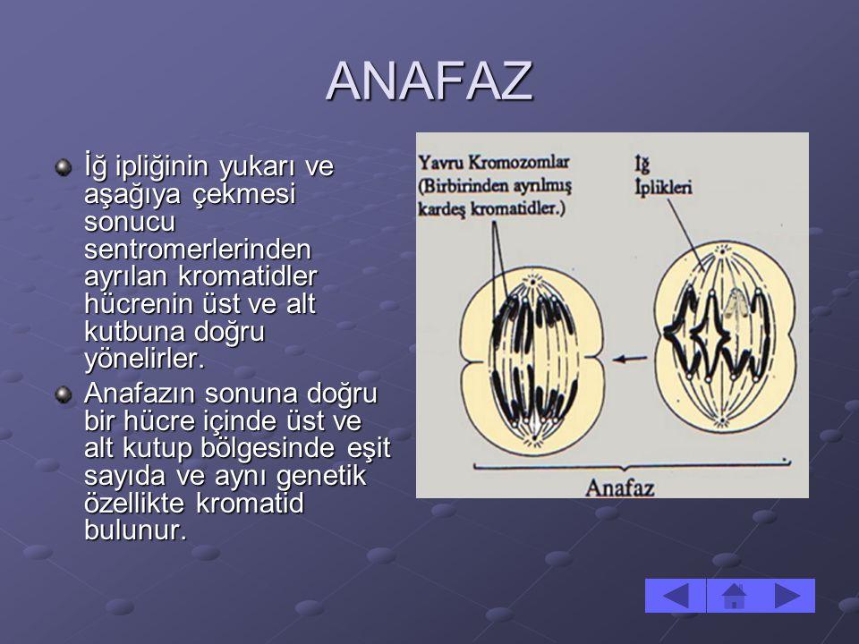 ANAFAZ İğ ipliğinin yukarı ve aşağıya çekmesi sonucu sentromerlerinden ayrılan kromatidler hücrenin üst ve alt kutbuna doğru yönelirler.