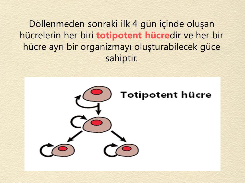 Döllenmeden sonraki ilk 4 gün içinde oluşan hücrelerin her biri totipotent hücredir ve her bir hücre ayrı bir organizmayı oluşturabilecek güce sahiptir.