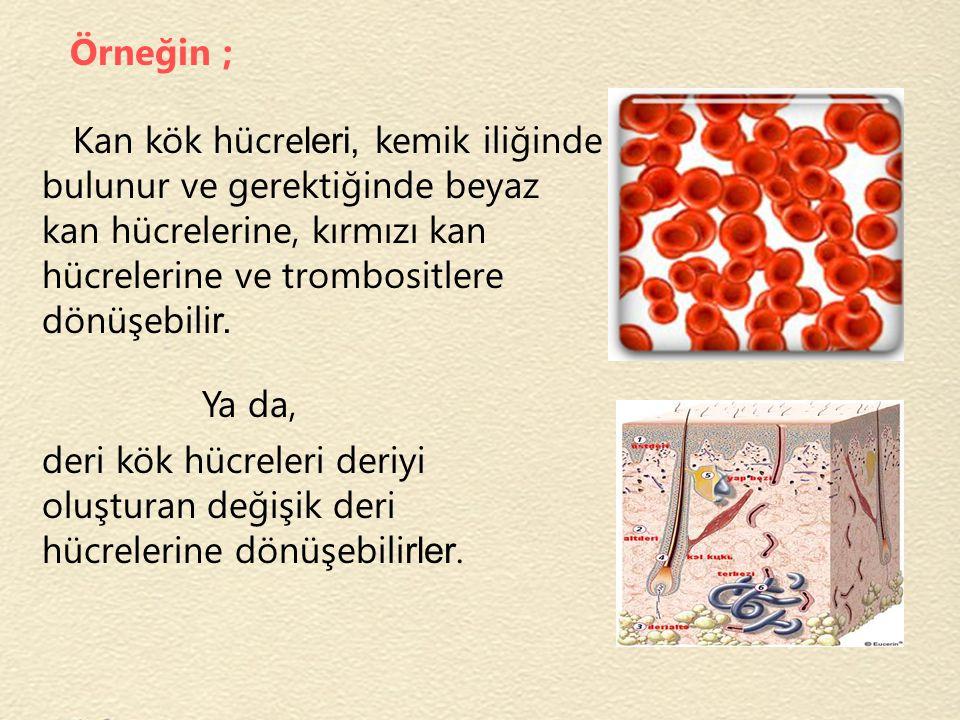 Örneğin ; Kan kök hücreleri, kemik iliğinde bulunur ve gerektiğinde beyaz kan hücrelerine, kırmızı kan hücrelerine ve trombositlere dönüşebilir.