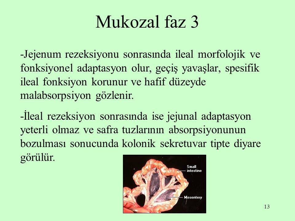 Mukozal faz 3