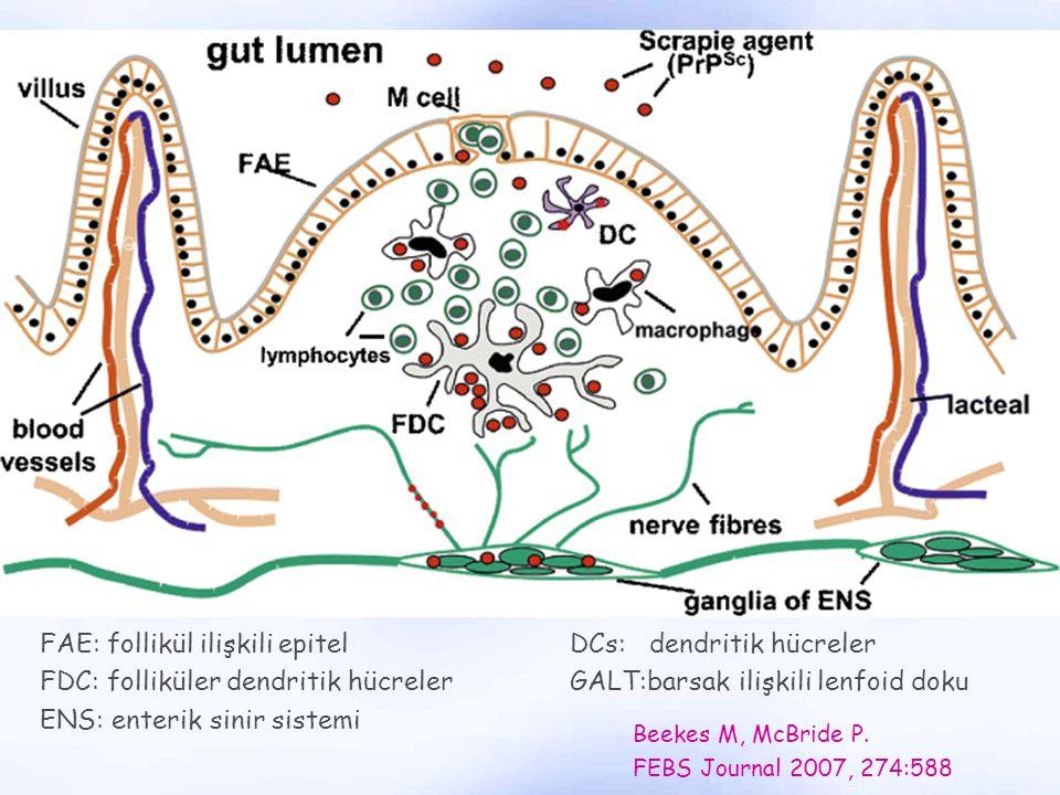 FAE: follikül ilişkili epitel DCs: dendritik hücreler