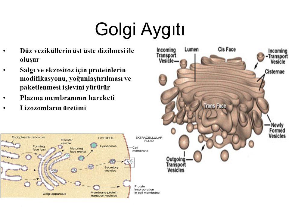 Golgi Aygıtı Düz veziküllerin üst üste dizilmesi ile oluşur