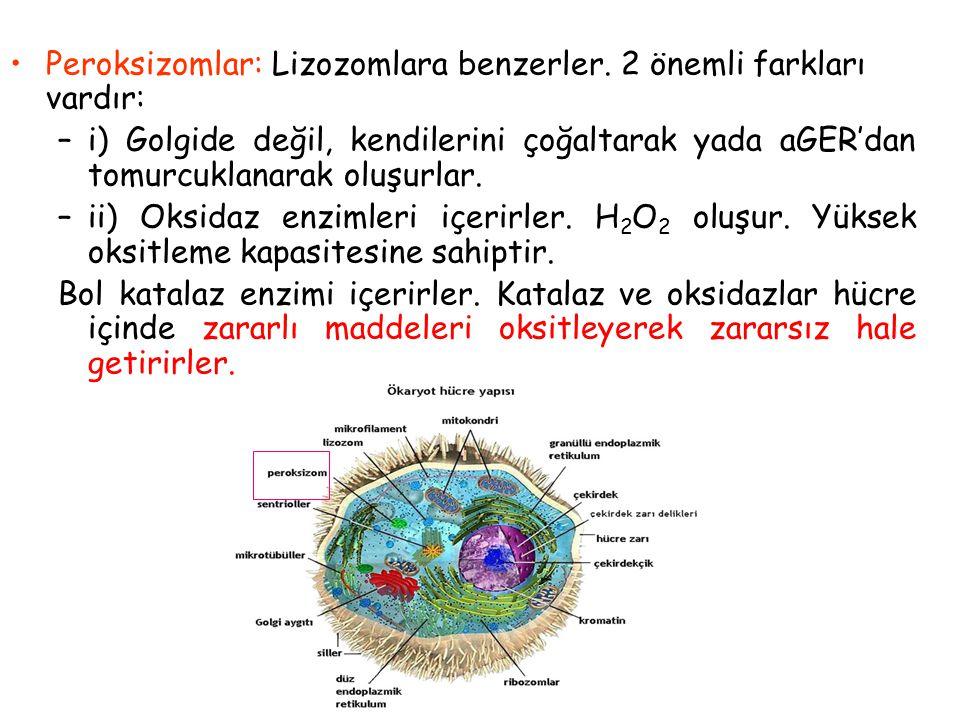 Peroksizomlar: Lizozomlara benzerler. 2 önemli farkları vardır: