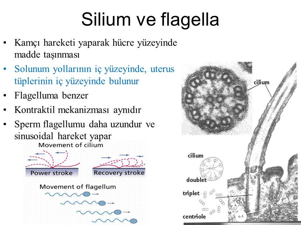 Silium ve flagella Kamçı hareketi yaparak hücre yüzeyinde madde taşınması. Solunum yollarının iç yüzeyinde, uterus tüplerinin iç yüzeyinde bulunur.