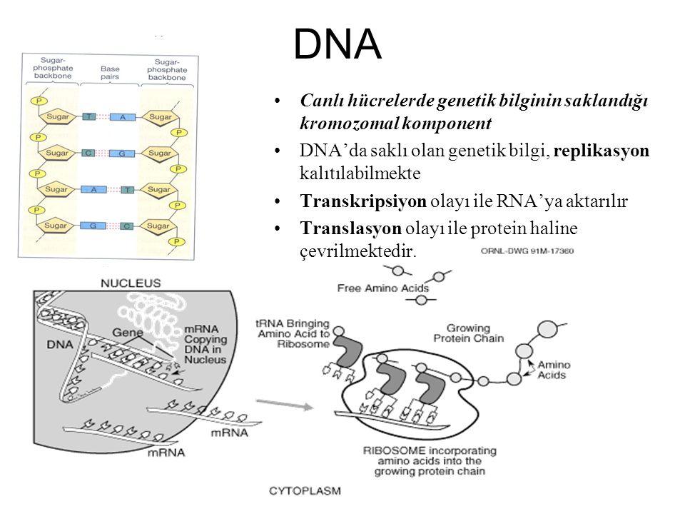 DNA Canlı hücrelerde genetik bilginin saklandığı kromozomal komponent