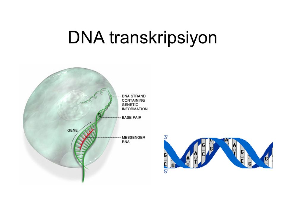 DNA transkripsiyon