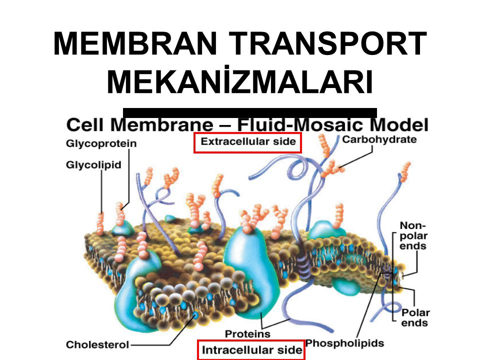 MEMBRAN TRANSPORT MEKANİZMALARI