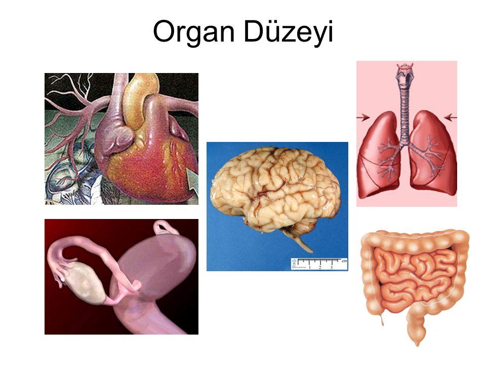 Organ Düzeyi