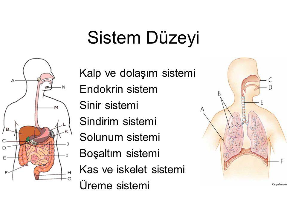 Sistem Düzeyi Kalp ve dolaşım sistemi Endokrin sistem Sinir sistemi