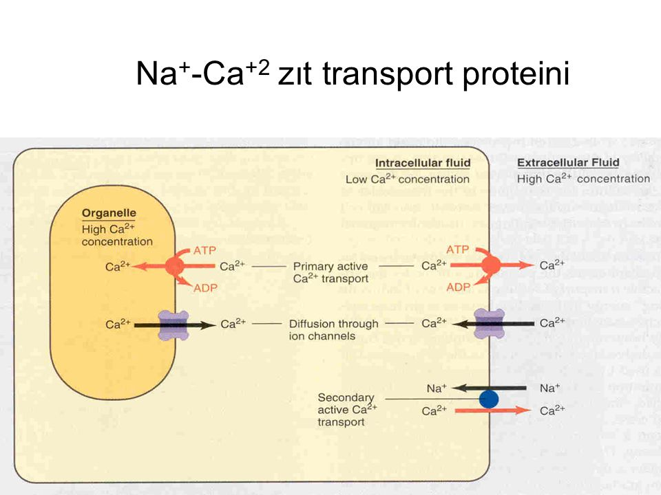 Na+-Ca+2 zıt transport proteini