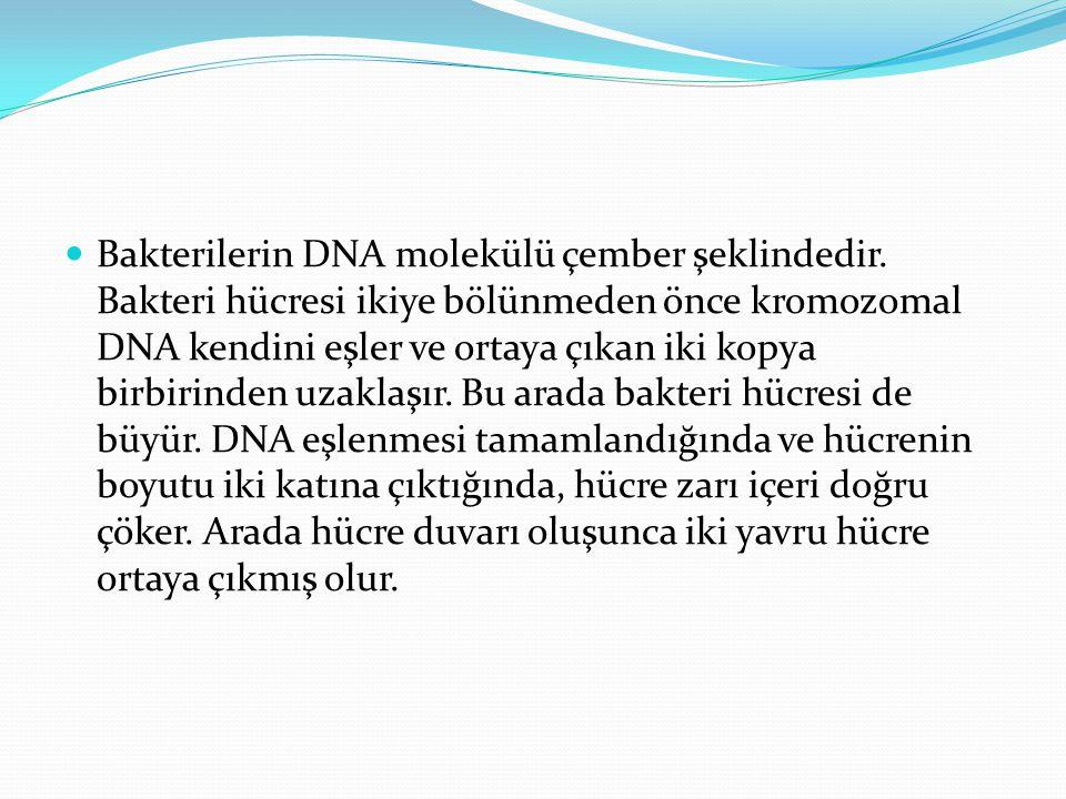 Bakterilerin DNA molekülü çember şeklindedir