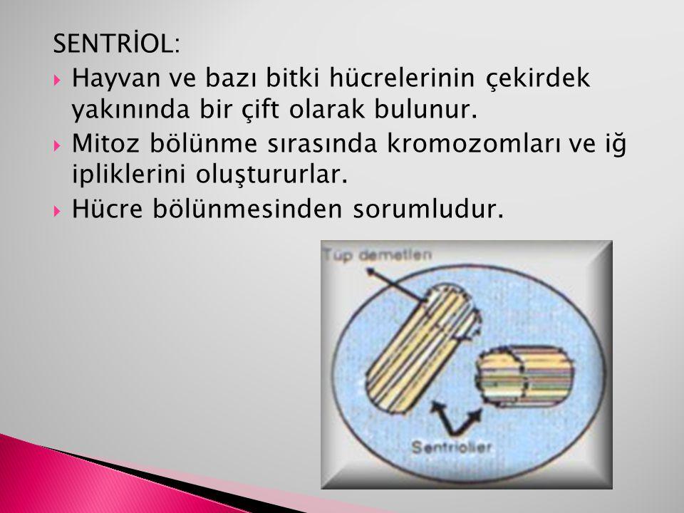 SENTRİOL: Hayvan ve bazı bitki hücrelerinin çekirdek yakınında bir çift olarak bulunur.