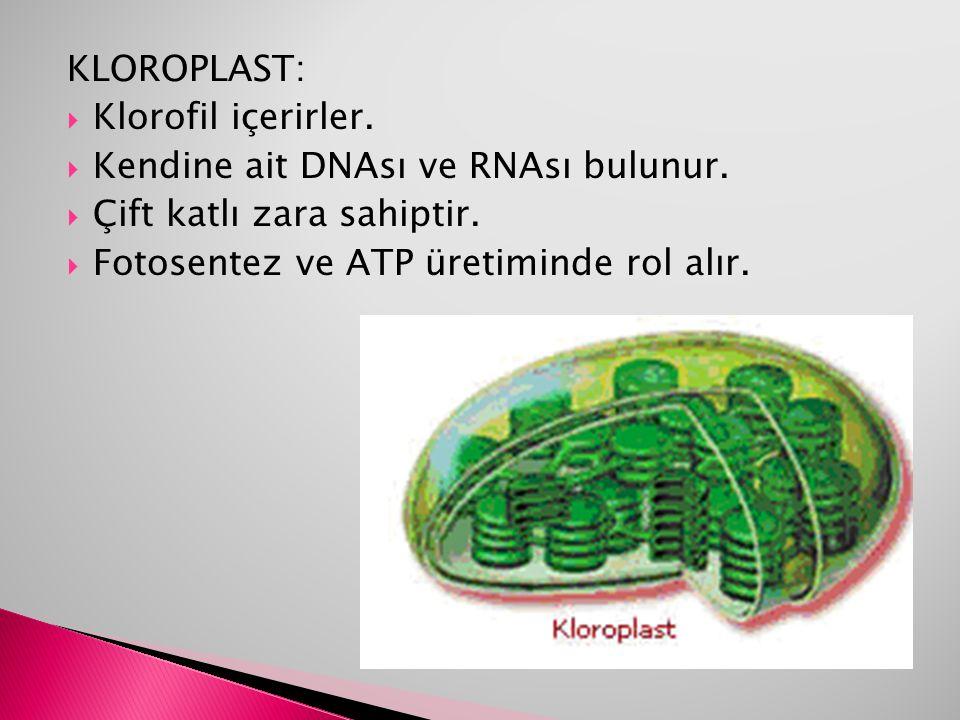 KLOROPLAST: Klorofil içerirler. Kendine ait DNAsı ve RNAsı bulunur.