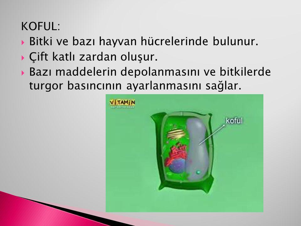 KOFUL: Bitki ve bazı hayvan hücrelerinde bulunur. Çift katlı zardan oluşur.