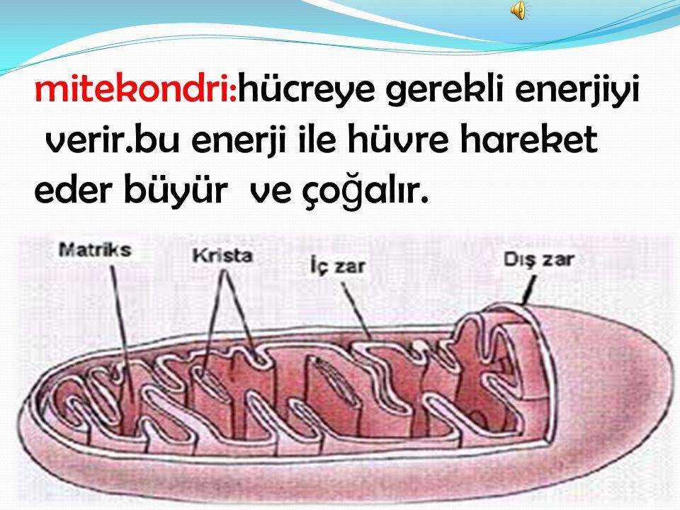 mitekondri:hücreye gerekli enerjiyi verir