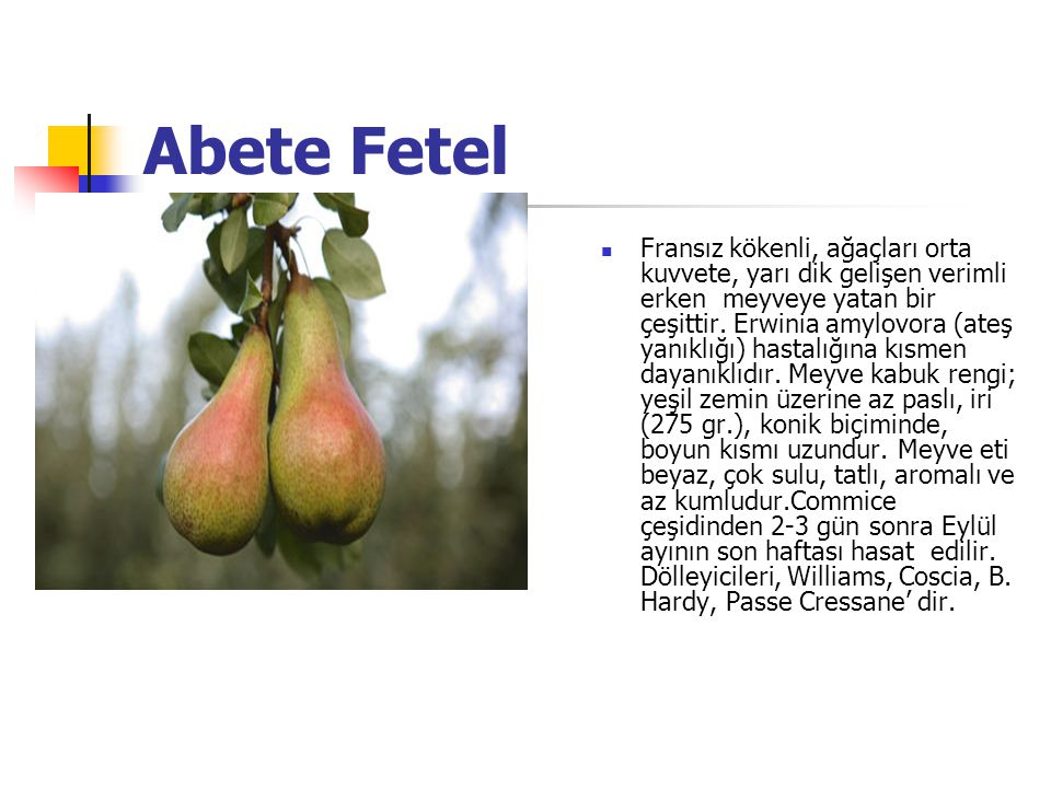 Abete Fetel