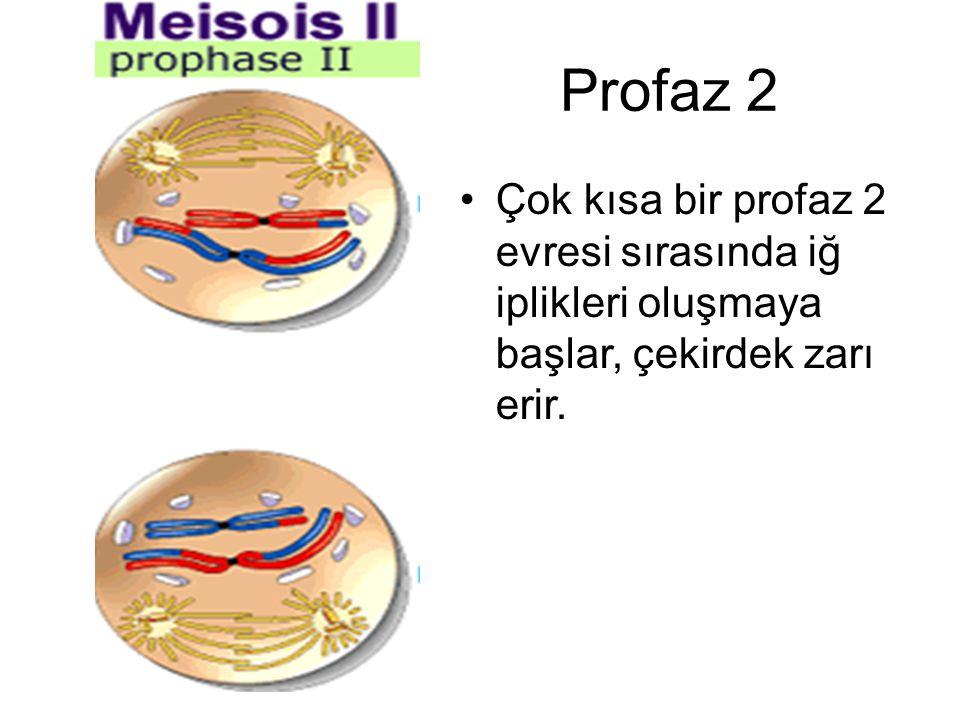 Profaz 2 Çok kısa bir profaz 2 evresi sırasında iğ iplikleri oluşmaya başlar, çekirdek zarı erir.