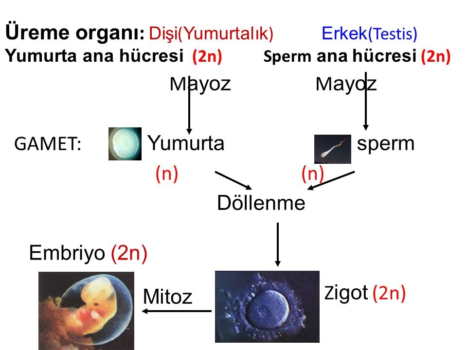 Üreme organı: Dişi(Yumurtalık) Erkek(Testis) Yumurta ana hücresi (2n) Sperm ana hücresi (2n)