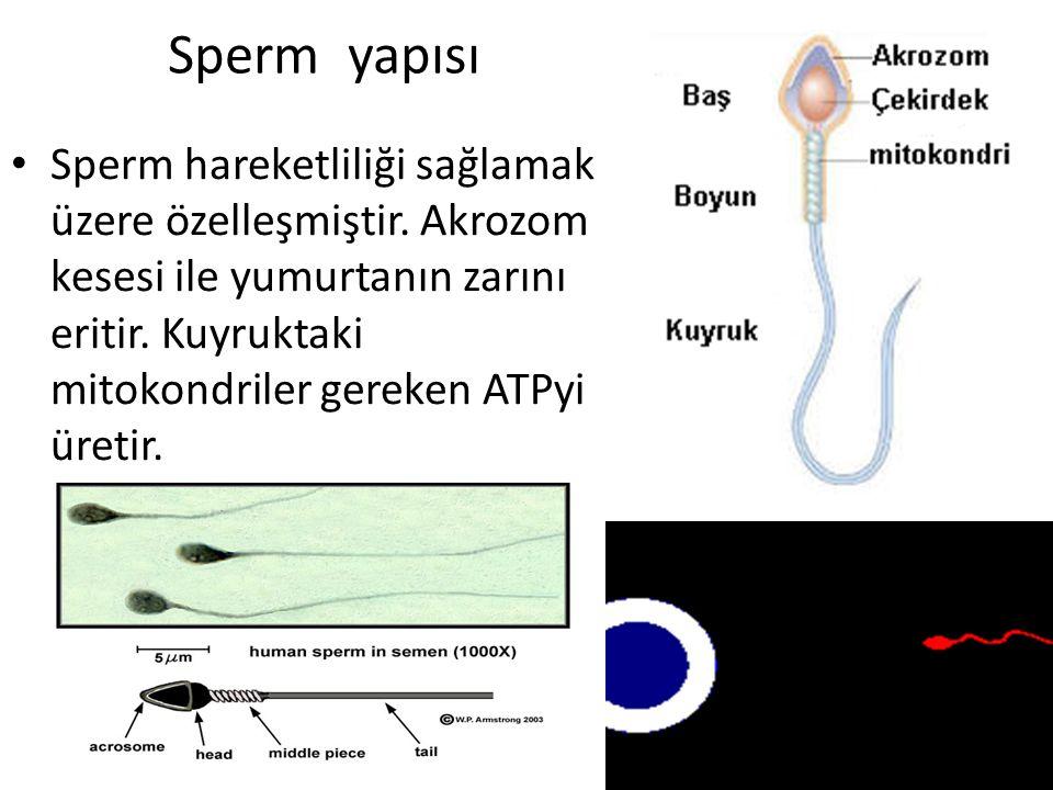 Sperm yapısı