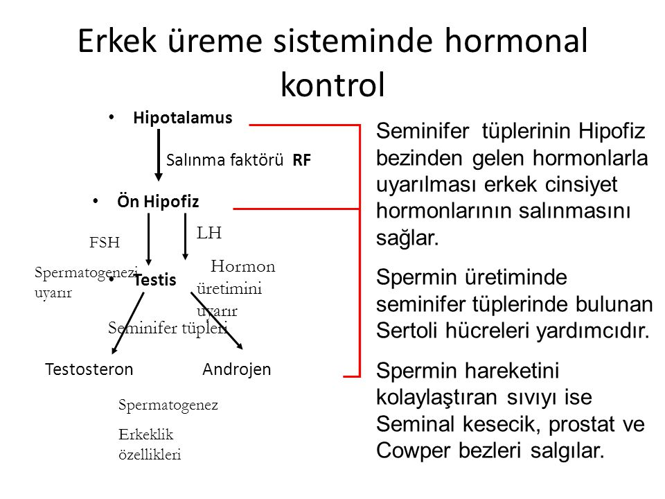 Erkek üreme sisteminde hormonal kontrol