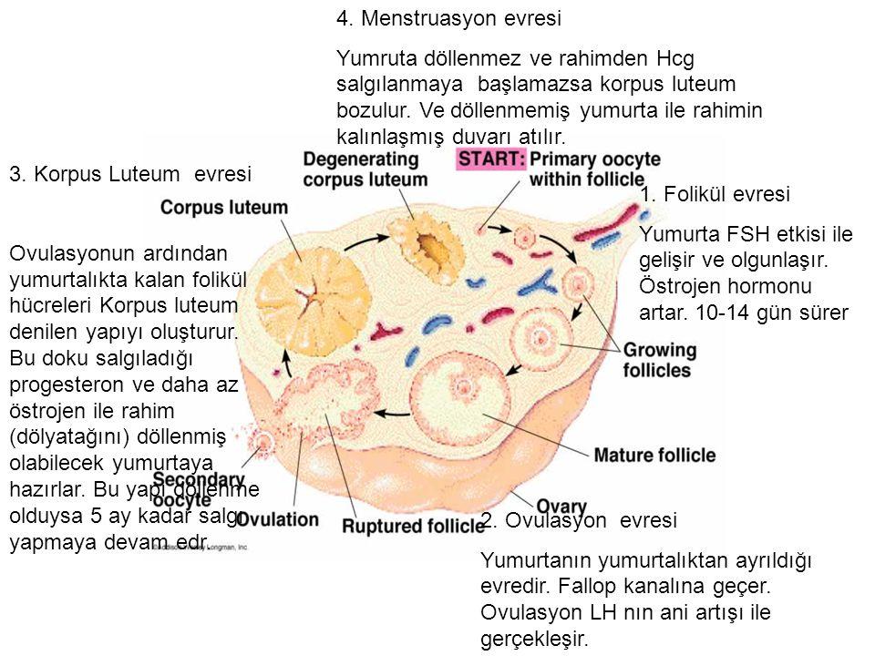 4. Menstruasyon evresi