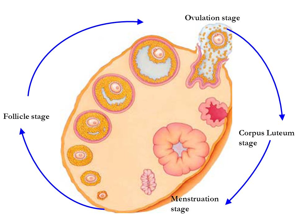 Ovulation stage Follicle stage Corpus Luteum stage Menstruation stage