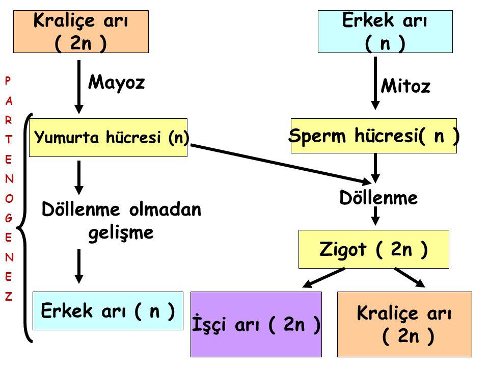 Kraliçe arı ( 2n ) Erkek arı ( n ) Mayoz Mitoz Sperm hücresi( n )