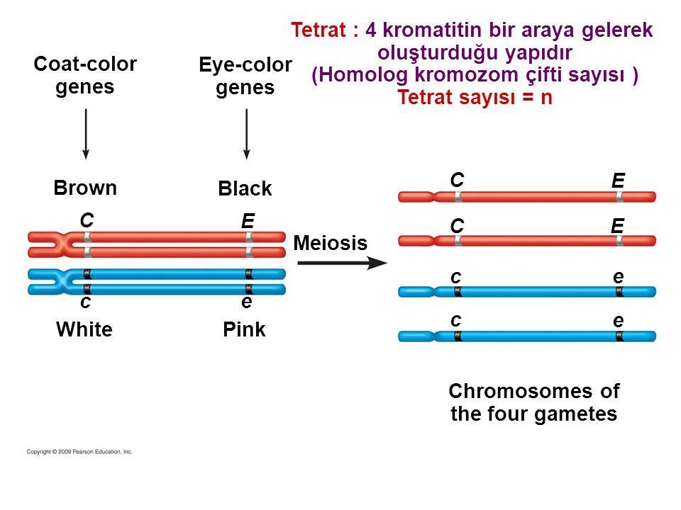 Tetrat : 4 kromatitin bir araya gelerek oluşturduğu yapıdır