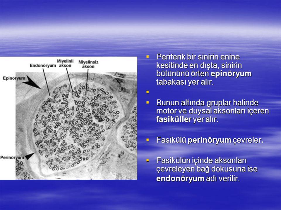 Periferik bir sinirin enine kesitinde en dışta, sinirin bütününü örten epinöryum tabakası yer alır.