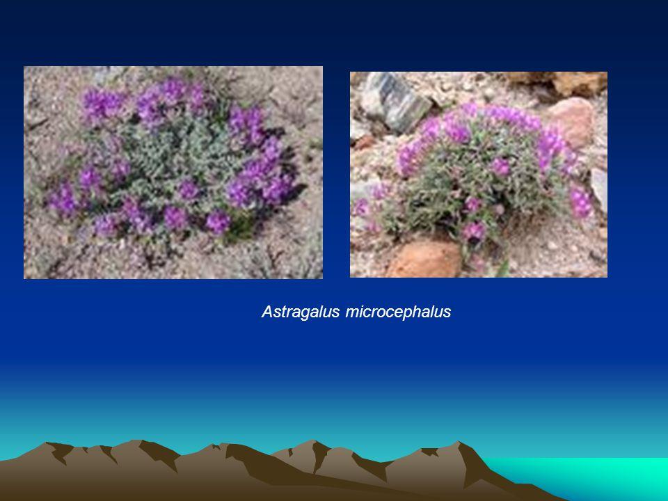 Astragalus microcephalus