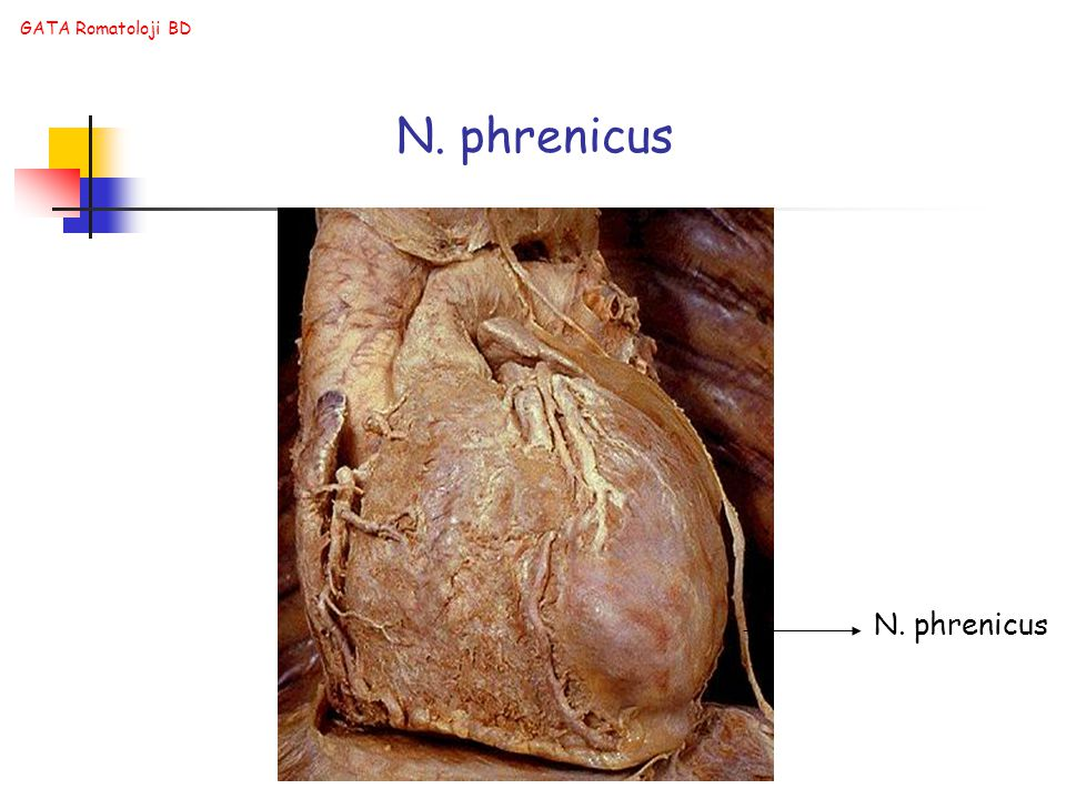 N. phrenicus N. phrenicus