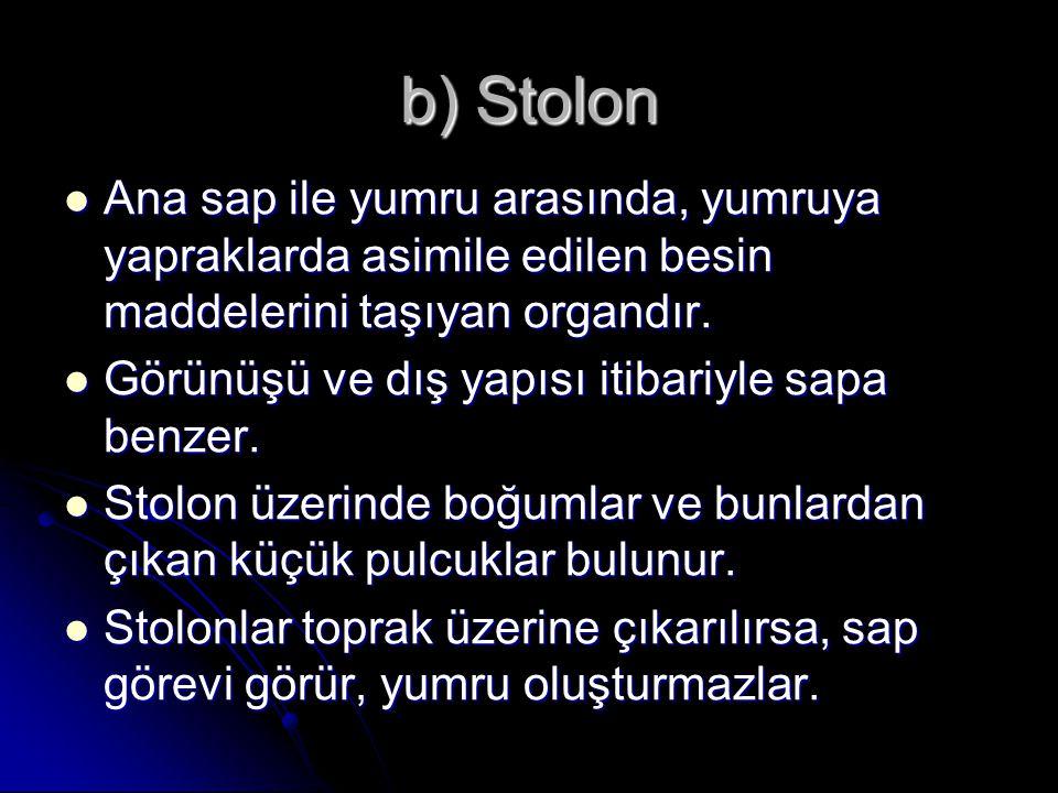 b) Stolon Ana sap ile yumru arasında, yumruya yapraklarda asimile edilen besin maddelerini taşıyan organdır.
