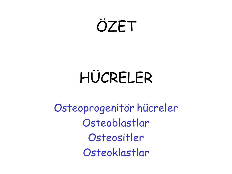 Osteoprogenitör hücreler Osteoblastlar Osteositler Osteoklastlar