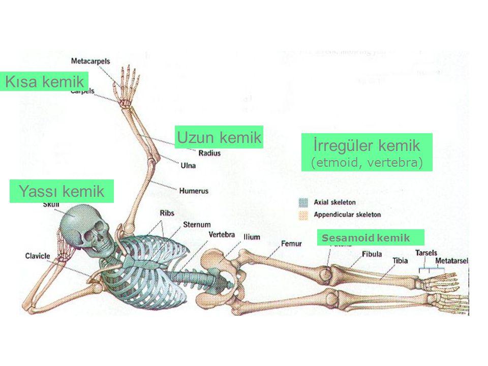 Kısa kemik Uzun kemik İrregüler kemik Yassı kemik (etmoid, vertebra)