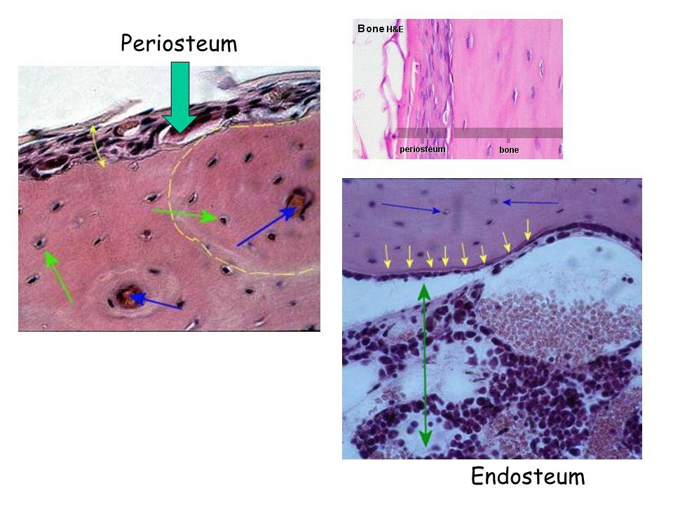 Periosteum Endosteum