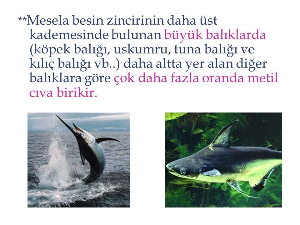 **Mesela besin zincirinin daha üst kademesinde bulunan büyük balıklarda (köpek balığı, uskumru, tuna balığı ve kılıç balığı vb..) daha altta yer alan diğer balıklara göre çok daha fazla oranda metil cıva birikir.