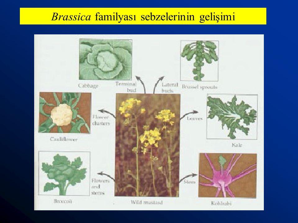Brassica familyası sebzelerinin gelişimi
