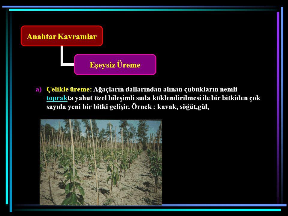 Çelikle üreme: Ağaçların dallarından alınan çubukların nemli toprakta yahut özel bileşimli suda köklendirilmesi ile bir bitkiden çok sayıda yeni bir bitki gelişir.